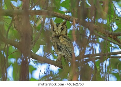 Beautiful Of Owl Bird, Collared Scops Owl (Otus lettia), in real nature of Thailand