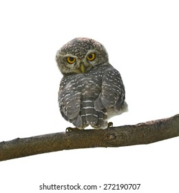Beautiful Owl bird (Spotted owlet) perching on a branch on white background
