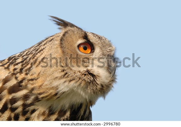 beautiful owl staring in the distance, isolated on blue sky
