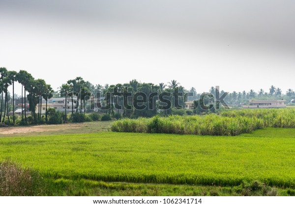 A beautiful paddy farm with sugar cane & palm tree harvesting together.