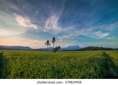 Beautiful paddy field of Kg Sangkir, Sabah, Malaysia captured early in the morning