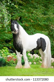 the beautiful paint draft horse with long mane