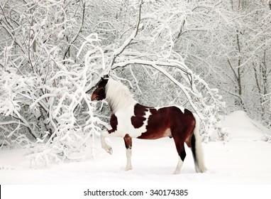 Beautiful paint draft horse in winter snow park