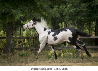 A beautiful paint horse gallops free.