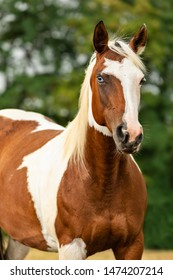 beautiful paint horse mare with one blue eye in summer countryside