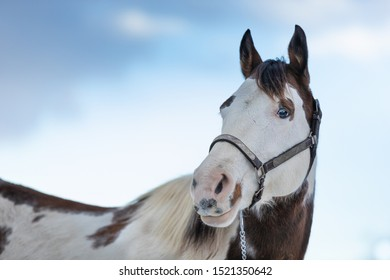 beautiful paint horse mare portrait with blue sky in background
