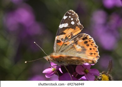 A beautiful painted lady butterfly, collecting nectar from pink flowers
