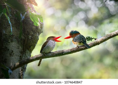 Beautiful Pair of Banded kingfisher singing and looking at each other, bokeh forest background, Thailand. Birds falling in love
