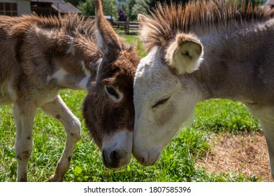 A beautiful pair of donkeys showing their affection for each other, power of animal love, free and happy donkeys.