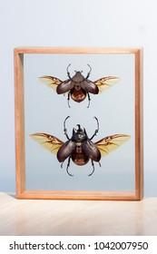 A beautiful pair of a male and female Actaeon beetle (Megasoma actaeon)