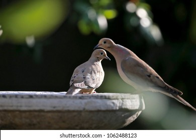 "A beautiful pair of Morning Doves meet daily on a bird bath. Kind and very sweet in nature, and clearly in love.  almost as if they're are  ""spooning."""