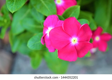 beautiful pair of pink color Catharanthus roseus, Madagascar periwinkle, rose periwinkle, rosy periwinkle,Vinca rosea plant flower With green leaves