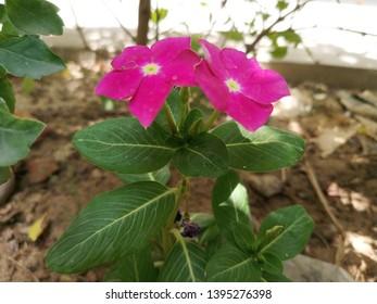 beautiful pair of purple, pink, magenta color sadabahar,  Catharanthus roseus, Madagascar periwinkle, rose periwinkle, rosy periwinkle,Vinca rosea plant flower