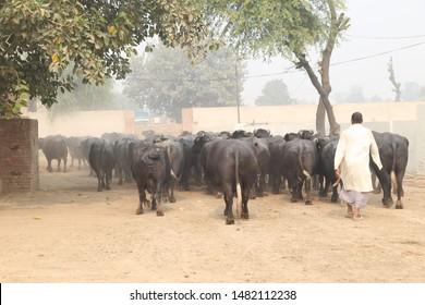 Nili Ravi Buffalo Images, Stock Photos & Vectors   Shutterstock