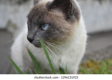 Beautiful pale blue eyes on a siamese kitty cat with blades of green grasss.