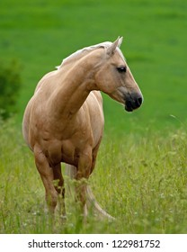 Beautiful Pale Brown Horse,  a quarter stallion in the field looking aside. Uppland, Sweden