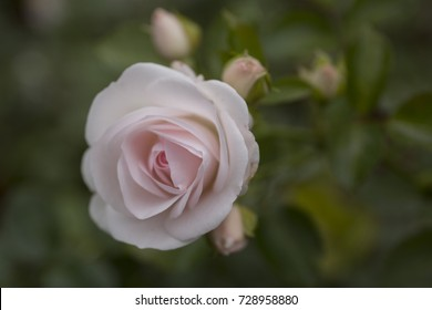 Beautiful pale pink rose in the garden closeup