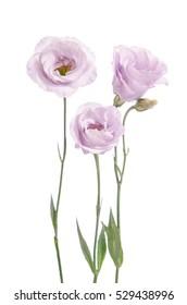 Beautiful pale violet eustoma flowers isolated on white background