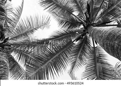 beautiful palms coconut tree on white background