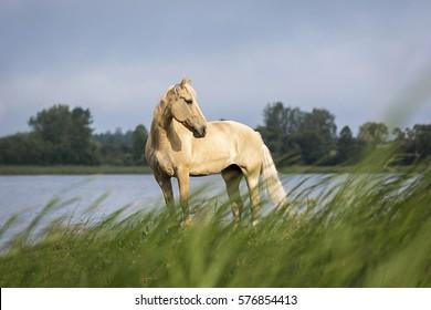 Beautiful Palomino horse.