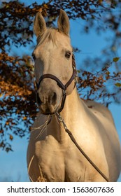 beautiful palomino horse portrait with blue sky in background
