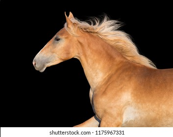 Beautiful palomino  horse portrait on black background in motion