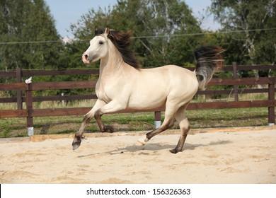 Beautiful palomino horse running on the sand