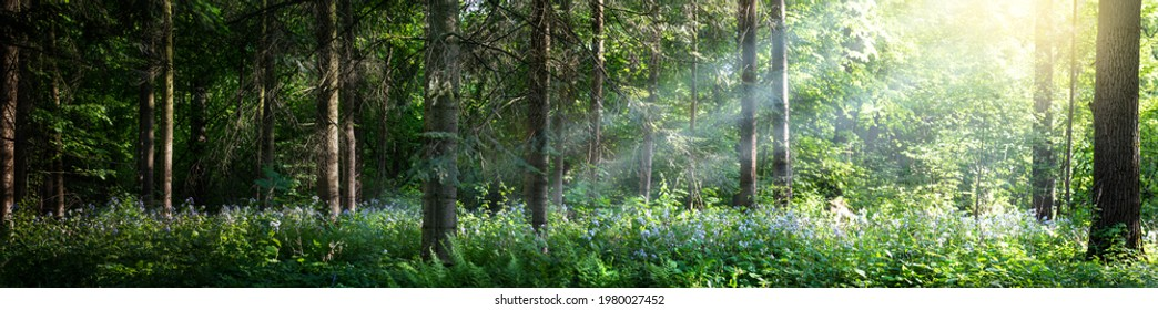 Beautiful panorama of the forest with bright rays of the sun through the trees. Glade in the evening forest in the rays of the setting sun. Wide forest background.