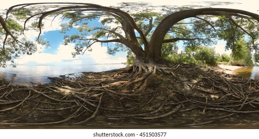 Beautiful Panorama. Large tree with roots on the coast of river (360 degrees image). Image for virtual reality