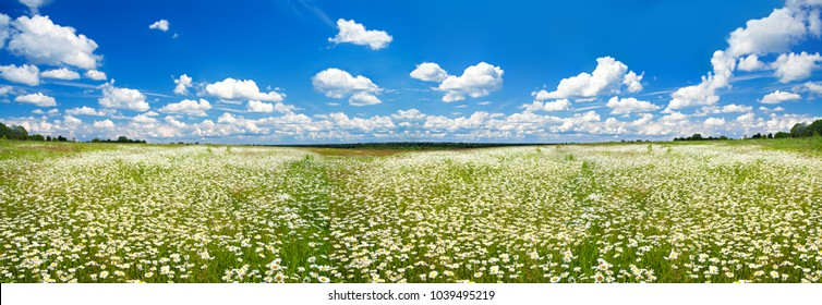 beautiful panorama spring rural landscape with a flowering flowers on meadow and blue sky. wild flowers chamomiles blossoming on meadow. blooming white wildflowers camomiles, panoramic view