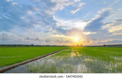 Beautiful panorama sunset view on paddy field