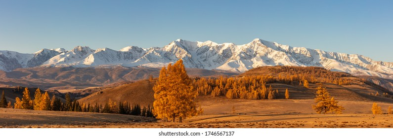 Beautiful panorama with a valley full of golden trees in the foreground and white snowy mountains  in the background. Sunrise. Altai mountains. Golden hour