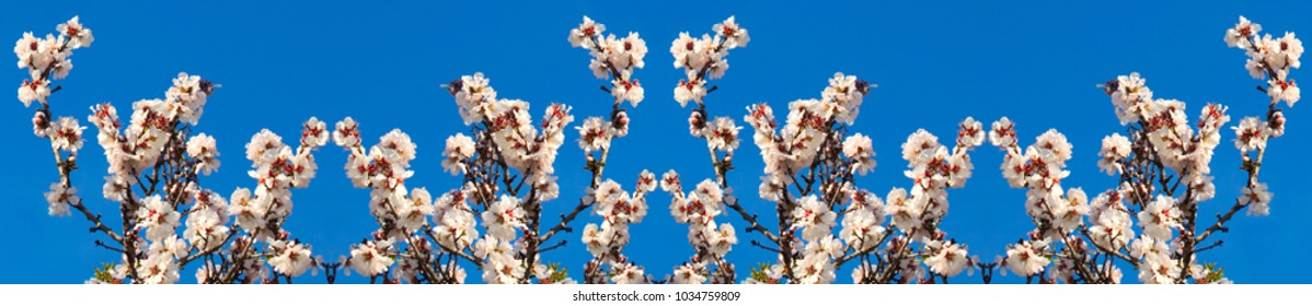 Beautiful panorama from white flowers with purple stamens on brown branches against a bright blue sky in early spring in Italy, the region of Apulia. Season change, kaleidoscope