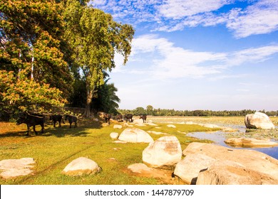 Beautiful panoramic landscape take in the banks of Yoda wewa (lake) in traditional Sri Lanka with a herd of cows coming to the lake in line all by itself