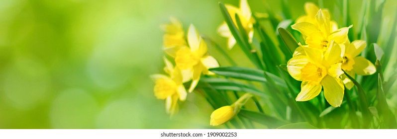 Beautiful Panoramic Spring Nature background with Daffodil Flowers, selective focus. Yellow Daffodils Flowers closeup on green background. Wide Angle Scenic floral header for website or Web banner - Shutterstock ID 1909002253