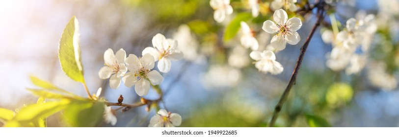 Beautiful panoramic view of cherry blossom in spring.