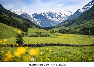 Beautiful panoramic view of rural alpine landscape with cows grazing in fresh green meadows neath snowcapped mountain tops on a sunny day in spring, National Park Hohe Tauern, Salzburger Land, Austria