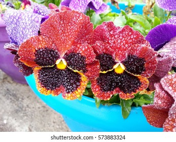 beautiful pansy flowers covered in morninv dew drops.