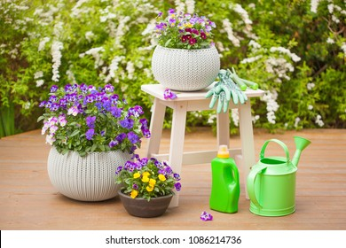 beautiful pansy summer flowers in garden, watering can, tools
