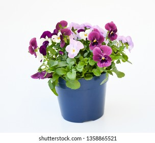 Beautiful pansy viola flower in tricolor, white, yellow and violet or purple growing in blue pot on White background.  Idea plant to put in garden or balcony for decorate in summer season.
