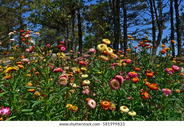 Beautiful paper daisy flowers in the park