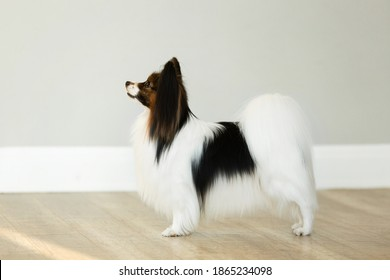 beautiful papillon dog is standing on a grey wall background in studio. Toy continental spaniel is stacking