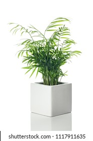 Beautiful Parlor palm in a white ceramic pot, with reflection, on white background.