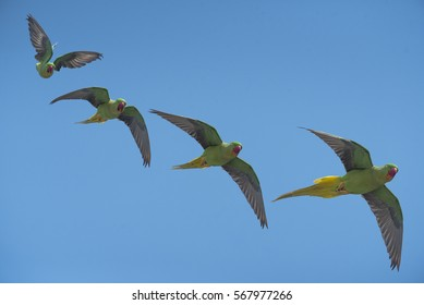 Beautiful parrot Bird, Alexandrine Parakeet flying on blue sky