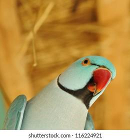 Beautiful parrot bird close up