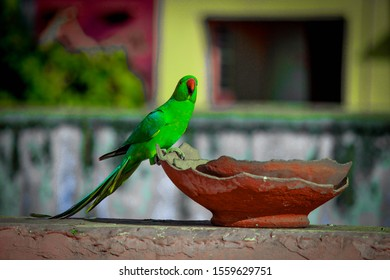A beautiful parrot drinking water