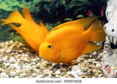Beautiful parrot fish swims in the aquarium.