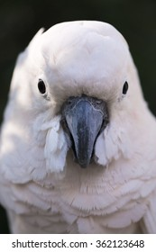 beautiful parrot looking camera. (white Parrot , macaw parrot)
