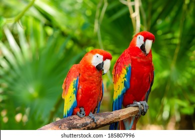 The beautiful Parrot, Red-and-green Macaw