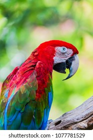 The beautiful Parrot, Red-and-green Macaw. The scarlet macaw (Ara macao) is a large red, yellow, and blue South American parrot